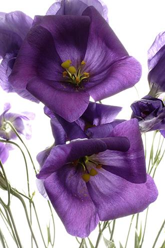موسوعه بجميع انواع الزهور Lisianthus